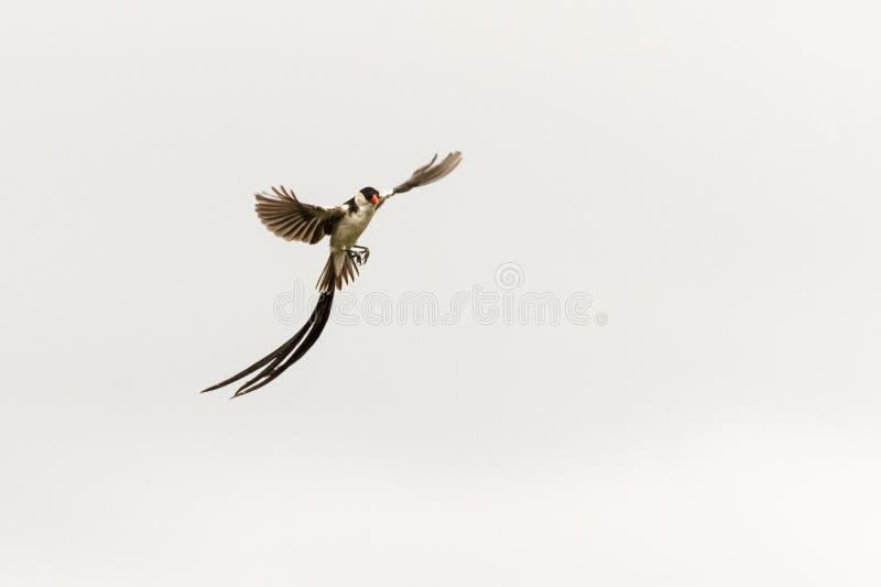 Pin cola whydah en vuelo foto de archivo libre de regalías