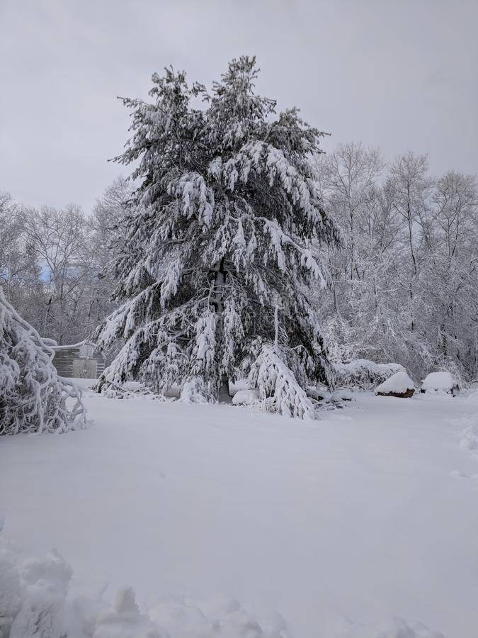 Pin couvert dans la chute de neige importante image stock