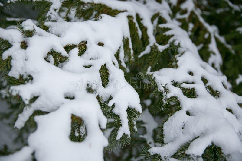 Pin d'enneigements après tempête d'hiver image stock