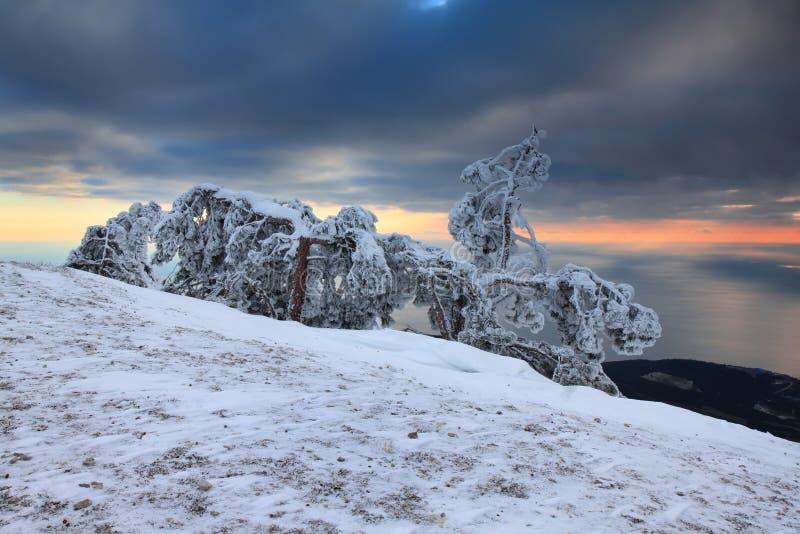 Pin dans la neige sur le dessus de la montagne images stock
