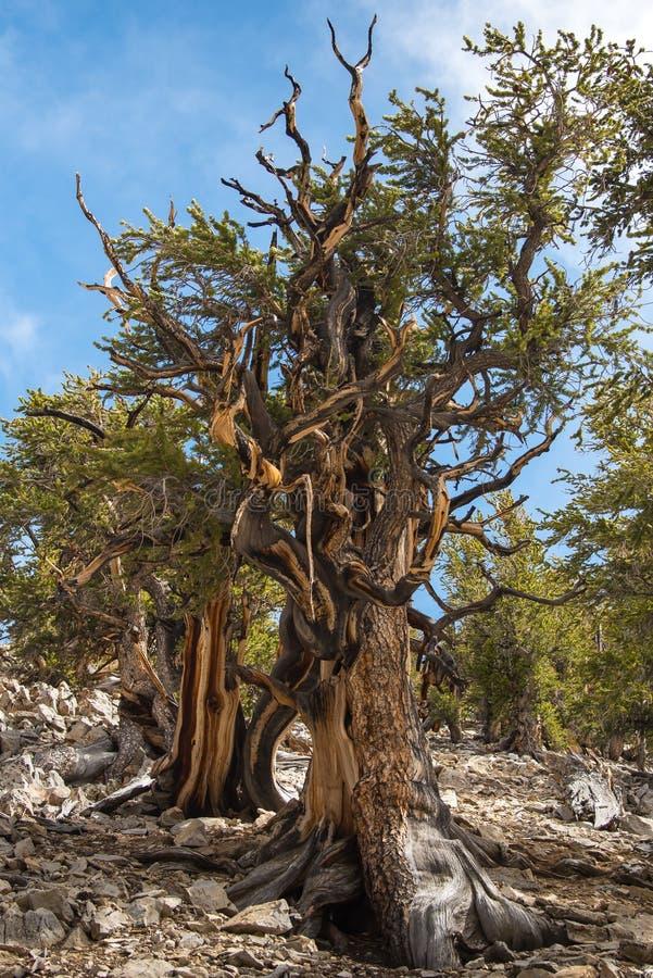 Pin de Bristlecone l'arbre le plus ancien au monde photographie stock libre de droits