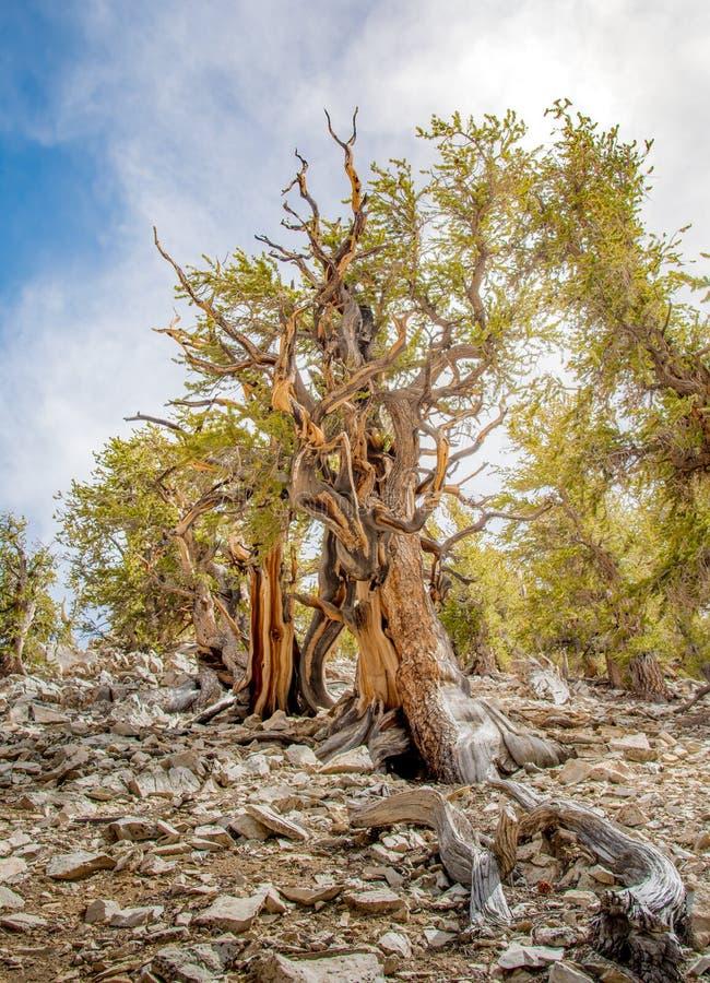 Pin de Bristlecone l'arbre le plus ancien au monde photos libres de droits