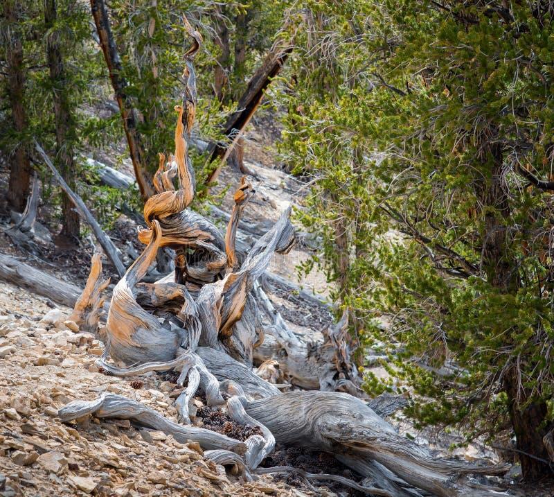 Pin de Bristlecone l'arbre le plus ancien dans le monde dans le jour ensoleillé photo stock