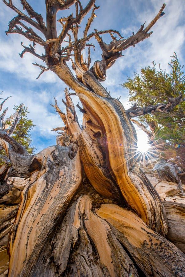 Pin de Bristlecone l'arbre le plus ancien dans le monde dans le jour ensoleillé photographie stock libre de droits