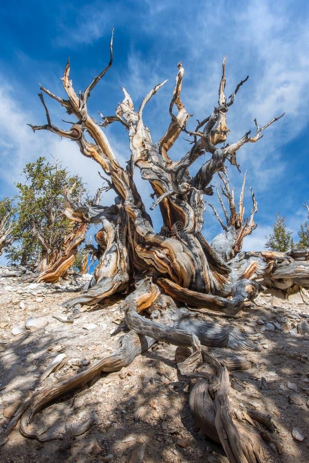 Pin de Bristlecone l'arbre le plus ancien dans le monde dans le jour ensoleillé images stock