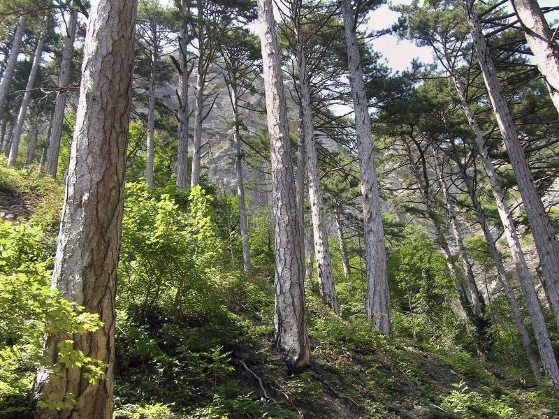 pin de forêt image stock