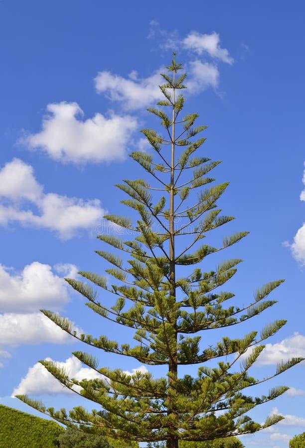 Pin de l'Île Norfolk images libres de droits
