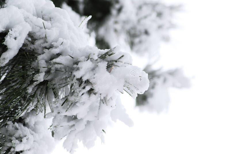 Pin de l'hiver photos libres de droits