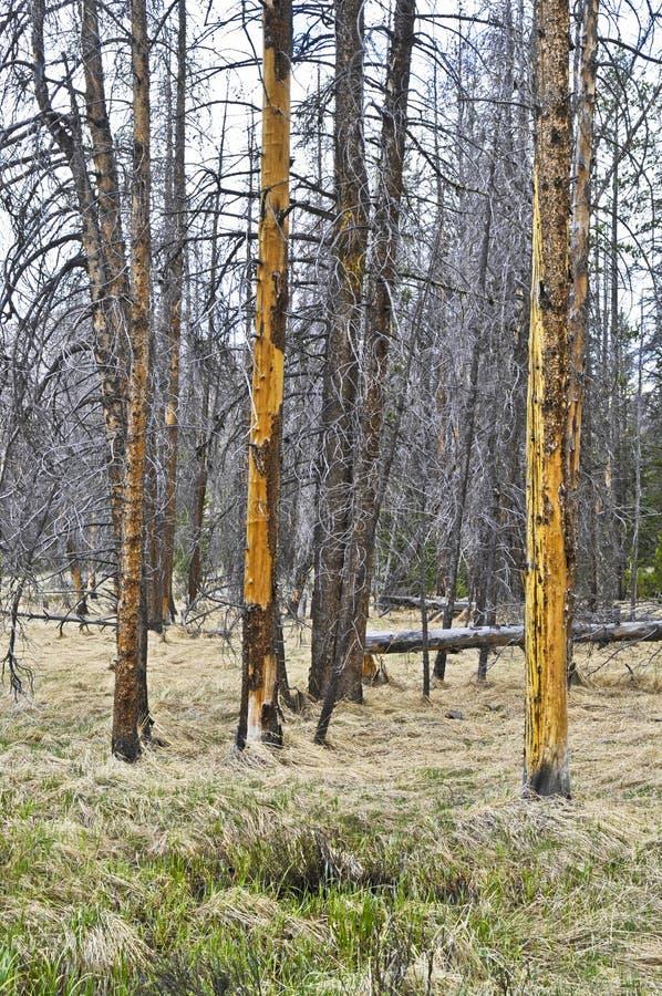 Pin de Lodgepole détruit par le coléoptère d'écorce de pin image stock