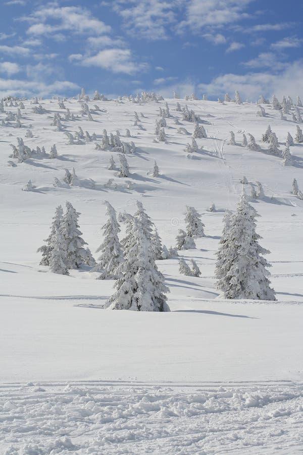 Pin de montagne naine sous la neige photos stock
