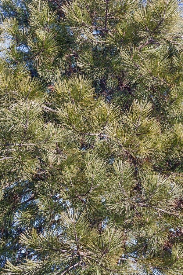 Pin de ponderosa image stock image du un et conif re 85334325 - Plante porte malheur ...