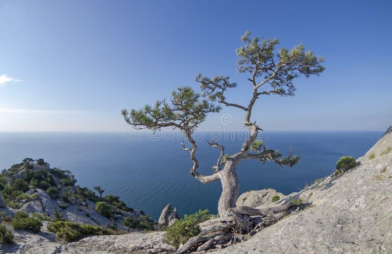 Pin de relique dans les roches sur le bord de la mer image libre de droits
