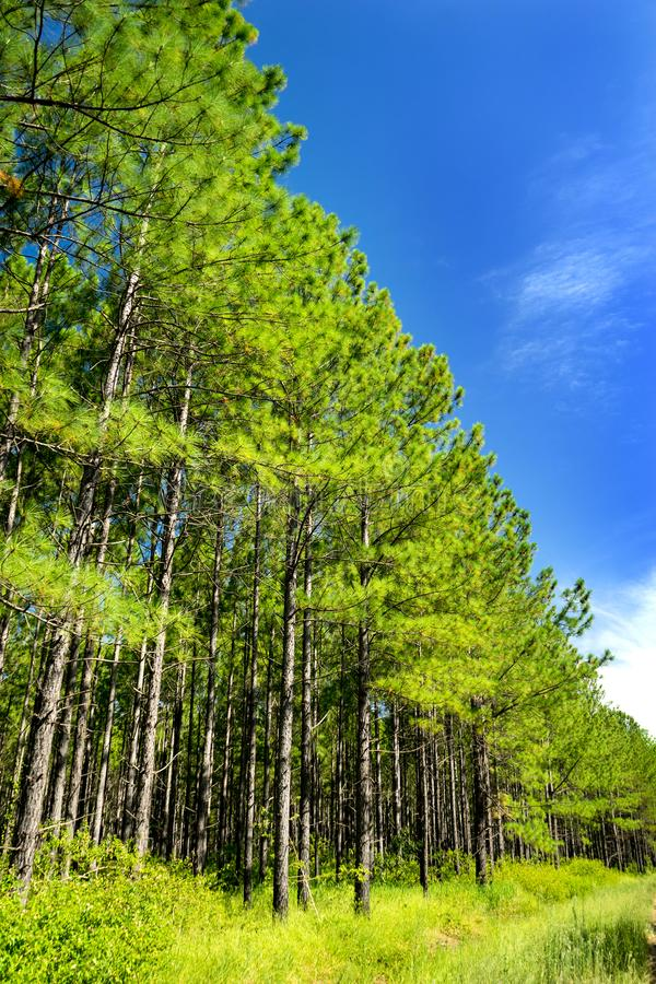 Pin Forest And Blue Skies Portrait photo stock