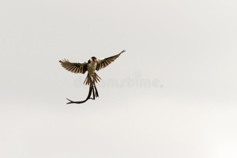 Pin ha messo in coda whydah in volo fotografie stock