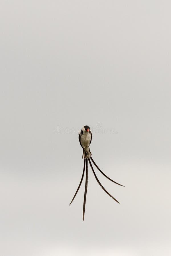 Pin ha messo in coda whydah in volo fotografia stock libera da diritti