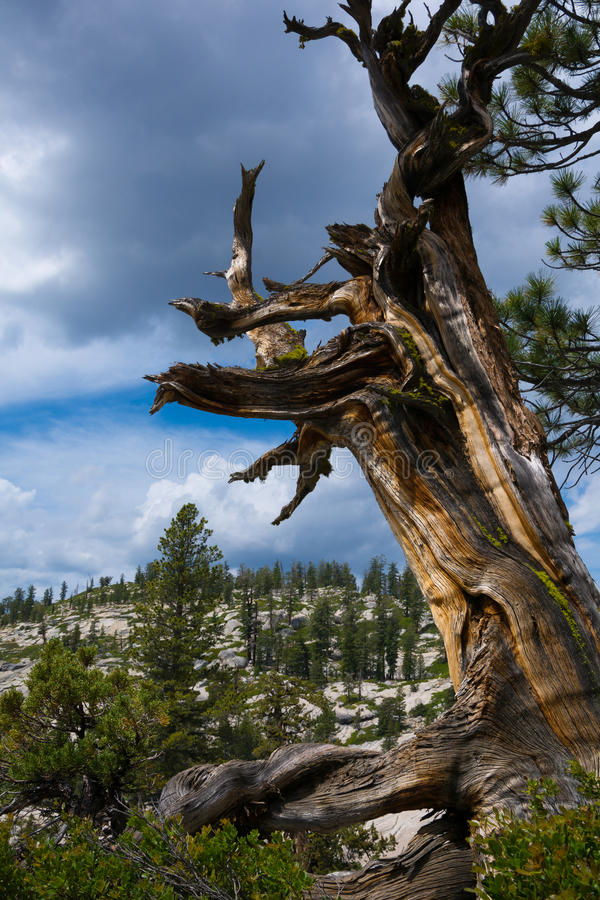 Pin mort, point d'Olmsted, parc national de Yosemite image stock