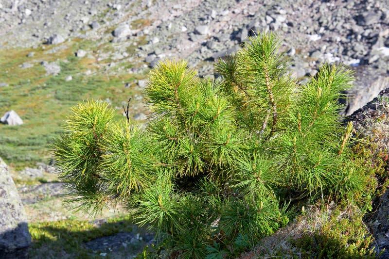 Pin nain sibérien dans la toundra de montagne images stock