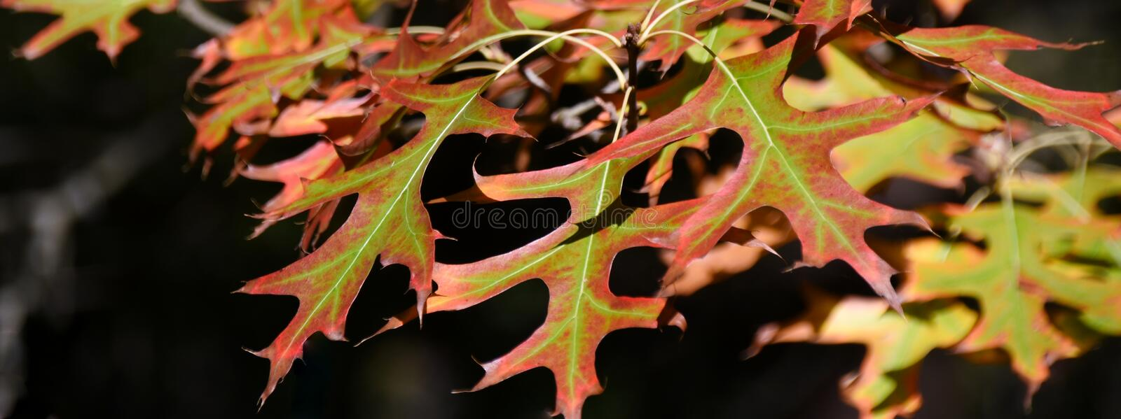 Pin oak leaves. Close up of autumn colored pin oak leaves stock photos