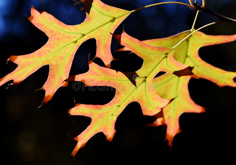 Pin oak leaves. Close up of autumn colored pin oak leaves stock photo