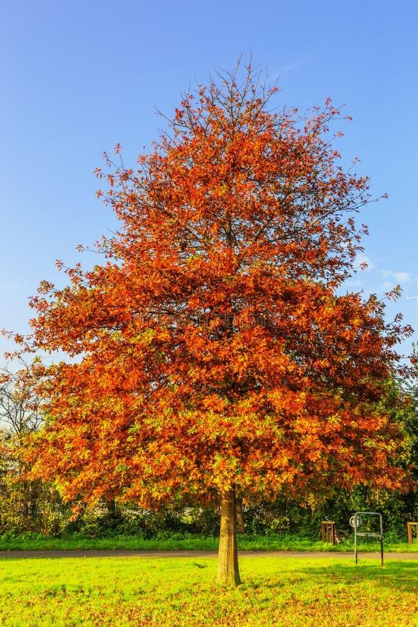 Pin oak, Quercus palustris as Park tree in lawn stock photo