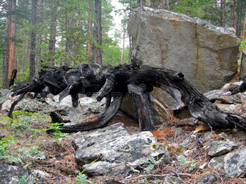 Pin sec mort sur le fond vert de forêt image libre de droits