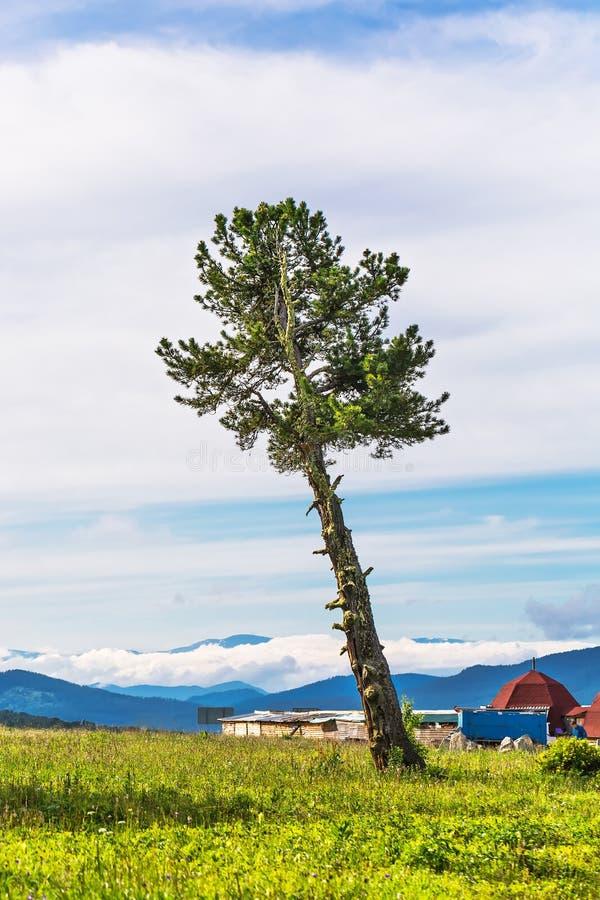Pin sibérien de cèdre Gorny Altai, Russie photographie stock