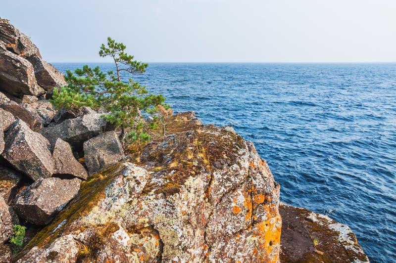 Pin solitaire sur une falaise par la mer images libres de droits