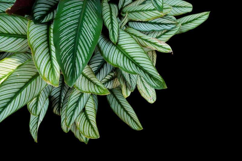 Pin-stripe ornata van Calathea Calathea, tropische gebladerteinstallatie le stock foto