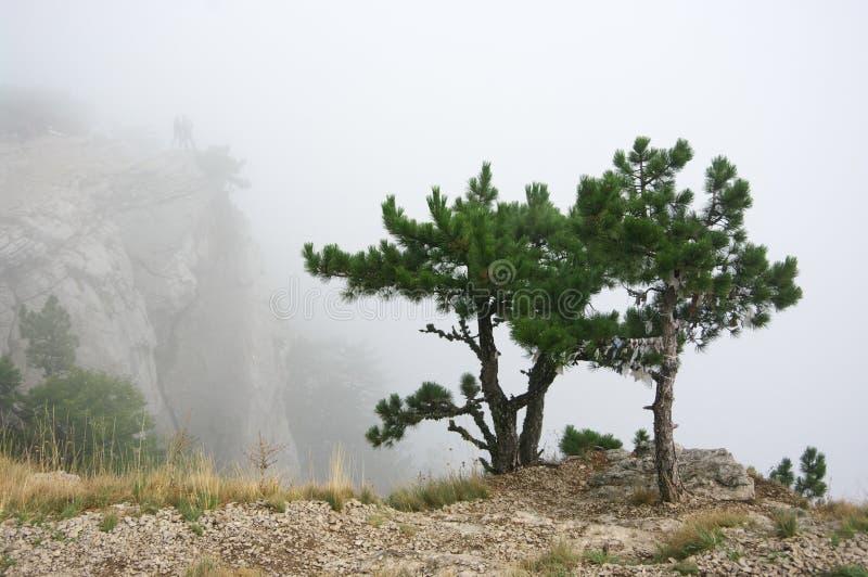 Pin sur la falaise en brouillard dense photos libres de droits