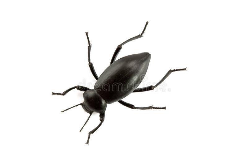 Pinacate Käfer der Klasse Eleodes stockfotografie