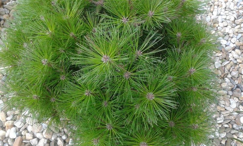 Pinaceae imagens de stock