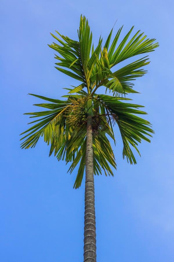 Pinang palmträd royaltyfria bilder