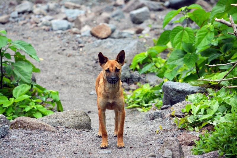Pinatubo lava dog. A filipino stray dog roams the trekking trail (following the lava flow) up to Pinaubo volcano near Angeles City, Philippines on Luzon Island stock image