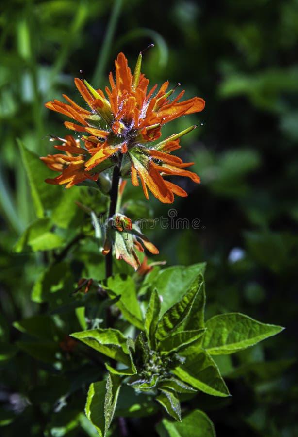 Pincel indiano alaranjado na flor completa imagem de stock royalty free