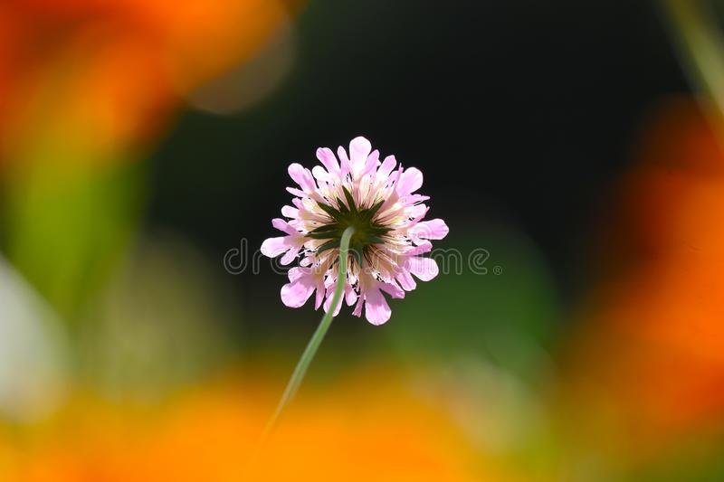 Pink pincushion flower in the sun surrounded by blurry orange colored flower blossoms stock photo