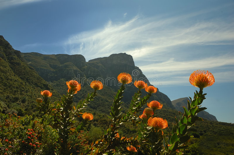 Pincushion (Kirstenbosch) fotos de stock royalty free
