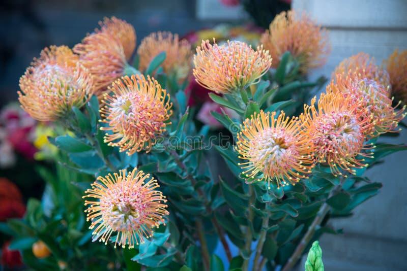 Pincushion Leucospermum cordifolium które należą protea f fotografia royalty free