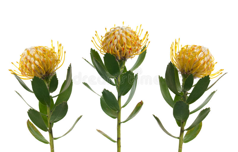 pincushion protea στοκ φωτογραφίες με δικαίωμα ελεύθερης χρήσης