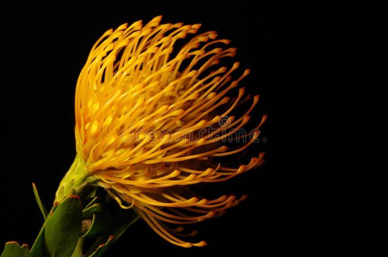 Pincushion Protea στοκ εικόνες με δικαίωμα ελεύθερης χρήσης