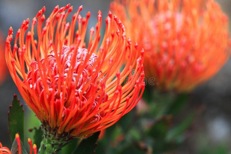 Pincushion protea closeup royalty free stock photo