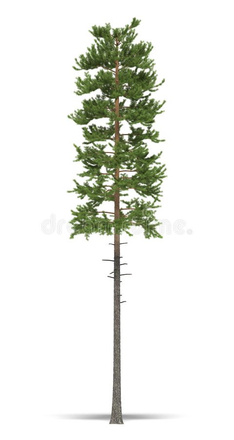 Download Pine stock illustration. Image of flora, isolated, white - 13208361