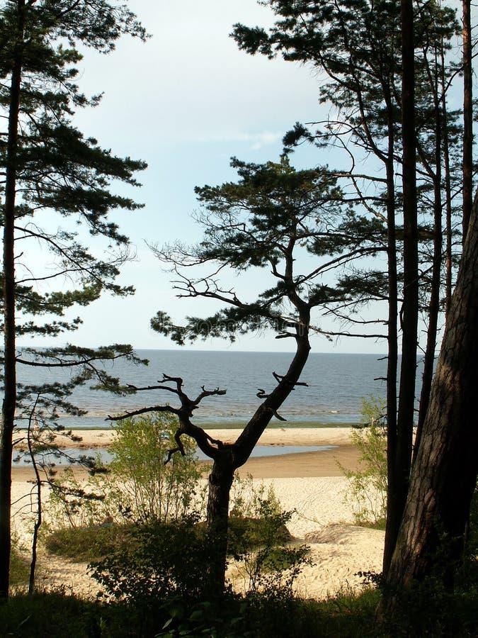 Download Pine stock image. Image of pine, baltic, coma, sand, tree - 175247