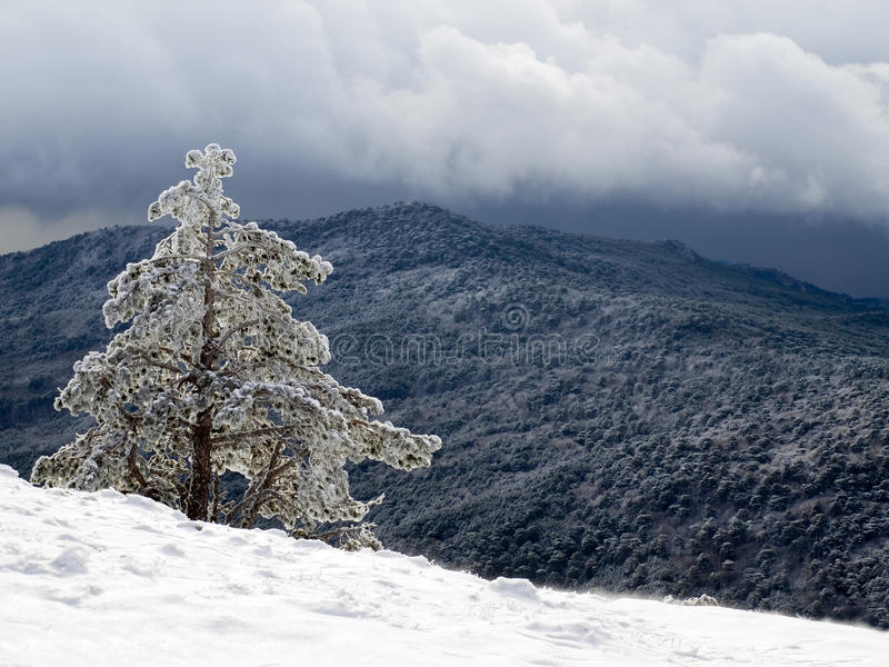 Download Pine. Royalty Free Stock Images - Image: 22612419