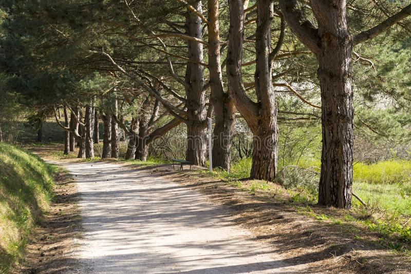 Pine alley along the path, Park. Spring royalty free stock images