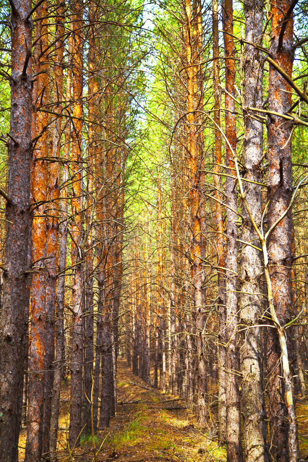 Free Pine Autumn Forest Stock Images - 26690714