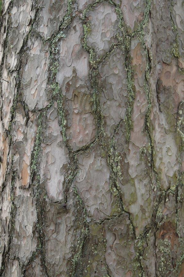 Pine bark coseup. Closeup of a 50yr pine tree. Soft neutral light royalty free stock photo