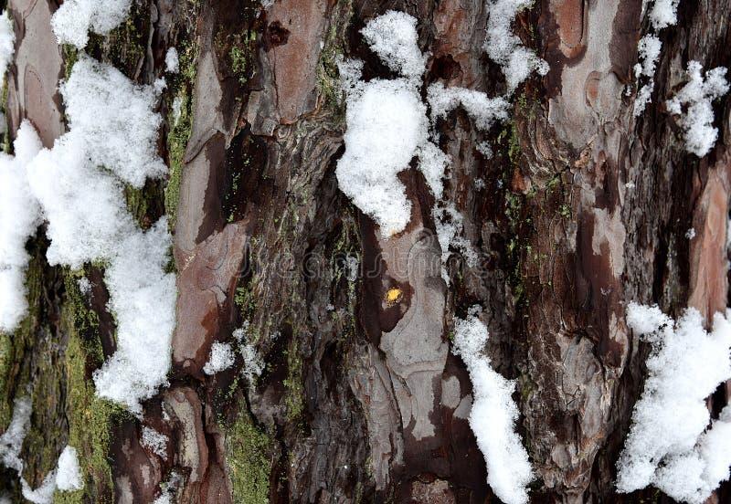 Pine bark with snow royalty free stock photos