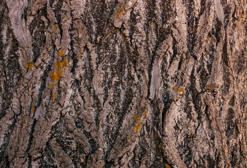 Pine bark texture background. Tree close up. dry and rough texture Nature backdrop. royalty free stock image