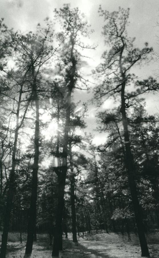 Pine Barrens royalty free stock image