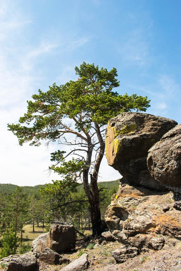 Pine, big rocks. forest landscape against a blue sky. lone pine. On a Sunny summer day. landscape. pine and rocks.  bushy branches of a pine royalty free stock photography